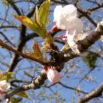 募集>お花見会のボランティア(宮城県東松島市)